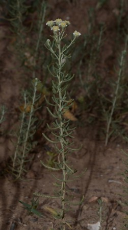 Plantes-achillea santolinoides